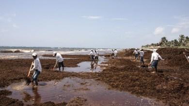 Photo of Sargazo contiene elementos dañinos para humanos y ecosistemas marinos, advierte estudio