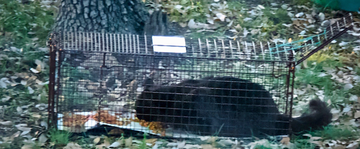 Feral Cat Fridays: Advanced Cat Trapping
