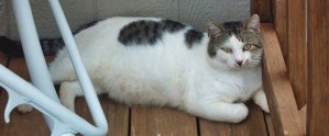 Feral cat Spotty rests on the deck