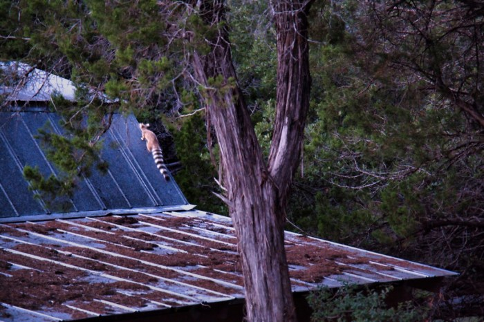 Ringtail climbing the roof