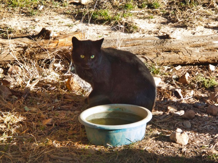King the feral cat sits by the water bowl.