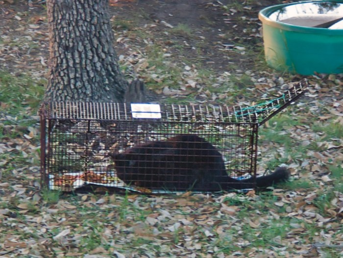 Feral cat Bluff eats the food in a trap with the door propped open.