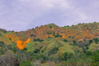 California Golden Poppies, Sulphur Ridge