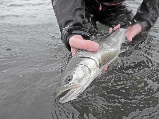 Searun Bull Trout DRYFT Fishing