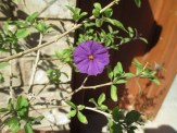Solanum rantonnetii that is...