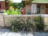 red yucca does well in tight spaces or containers