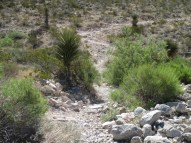 crossing the gnarly arroyo...more Chilopsis linearis, some Yucca torreyi, much sunlight