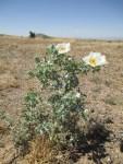 Prickly Poppy / Argemone pleicantha
