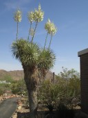 right from the mural, Beaked Yucca / Yucca rostrata