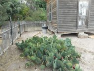 Opuntia lindheimeri...thinking how or if this might be pruned a touch