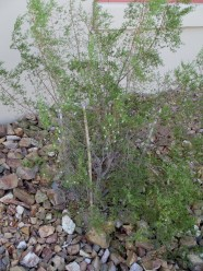 this Creosote Bush is growing far outside the cage now