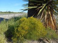 Gutierrezia microcephala / Threadleaf Snakeweed