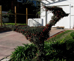cotoneaster topiary