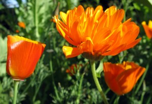 California poppy and Blessed Calendula