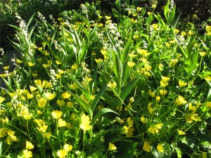 meadow foam and maianthemum