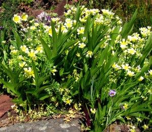 meadowfoam and stream orchid