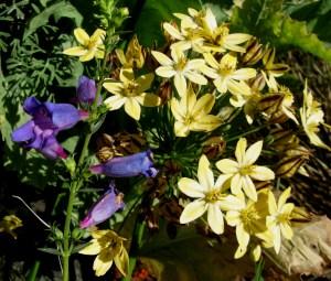 Penstemon heterophyllus and Triteleia Starlight