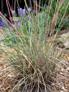 California fescue, festuca californica