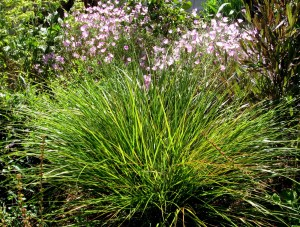 Stipa arundinacea, New Zealand Wind Grass