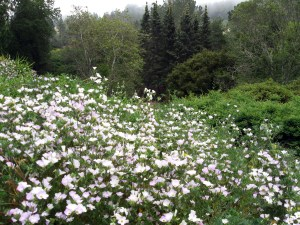 Linanthus at Tilden