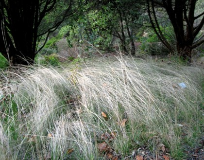 Foothill Needlegrass