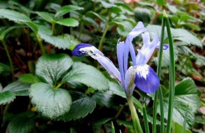 Iris reticulata Clairette with Beach Strawberry