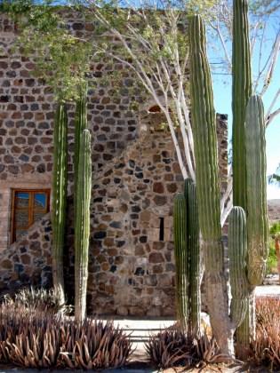 Cardon Cactus and Palo Blanco