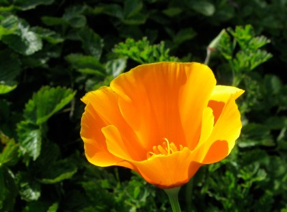 Coastal California Poppy, Eschscholzia californica var. maritima