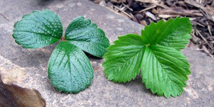 Fragaria chiloensis on the left, Fragaria vesca on the right