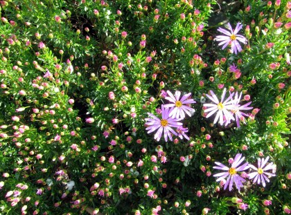 Some kind if Aster
