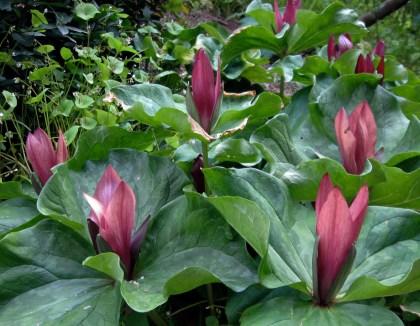 Trillium giganteum