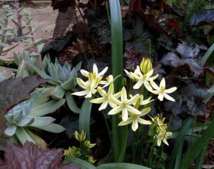 Triteleia ixioides Starlight