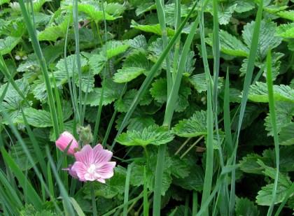 Sidalcea bloom, Sisyrinchium and Fragaria foliage