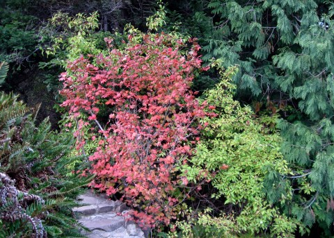 Vine Maple, Acer cirnatum