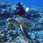 アオウミガメと泳ぐ