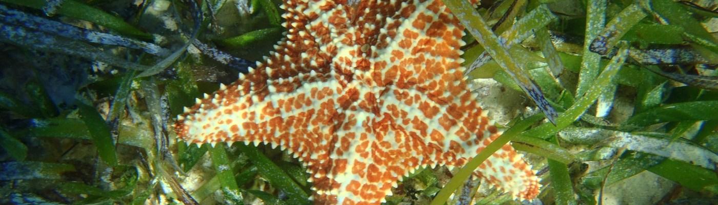Etoile de mer dans la Baie du Diamant- DSC club de plongée