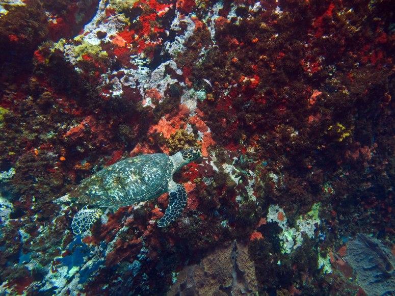 tortue au Rocher du Diamant- DSC club de plongée- club de plongée au diamant