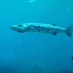 Barracuda dans la baie du Diamant- DSC club de plongée
