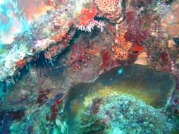 langouste baie du diamant- DSC club de plongée