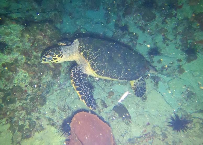 tortue de sortie de nuit- DSC club de plongée du Diamant