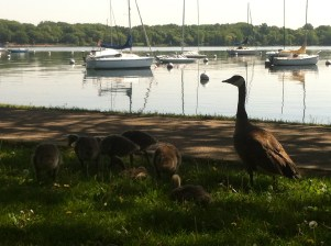 Baby geese a few weeks later!!!