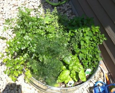 Herbs galore in 2-3 weeks