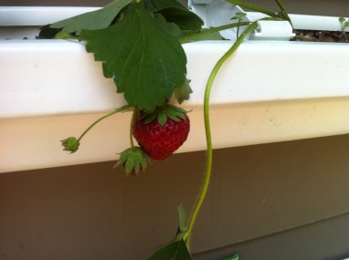 Strawberry in gutter gardens. Mine are not quite deep enough for strawberries.