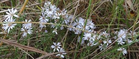 asterflower