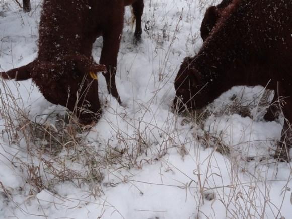 Snow Grazing