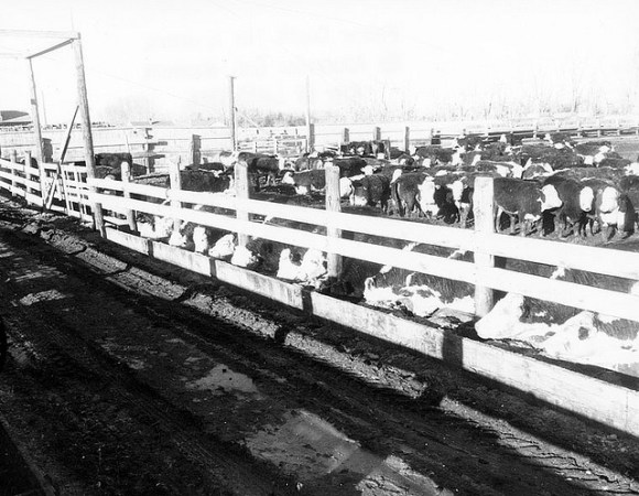 1958 AB Canada, cattle in feed yard.