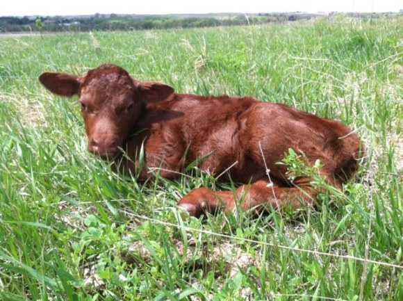 First calf 2014 resting.