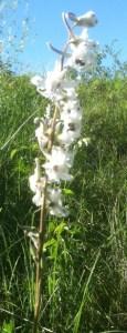 Plains Larkspur (Delphinium carolinianum)