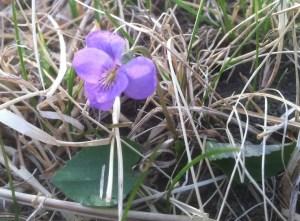 Prairie Violet (Viola pedatifida)