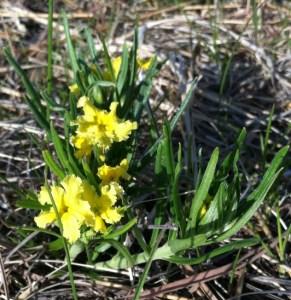Narrowleaf Puccoon (Lithospermum incisum)